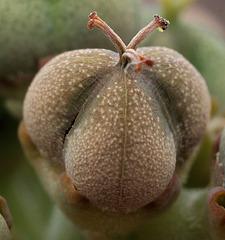 Euphorbia obesa - reife Samenkapsel