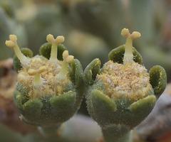 Euphorbia obesa - männliche Blüte