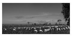 Sheep in paddock after shearing
