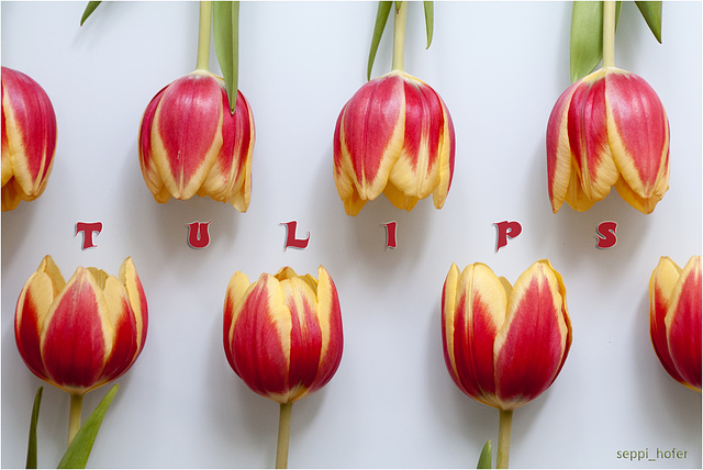 tulips in line