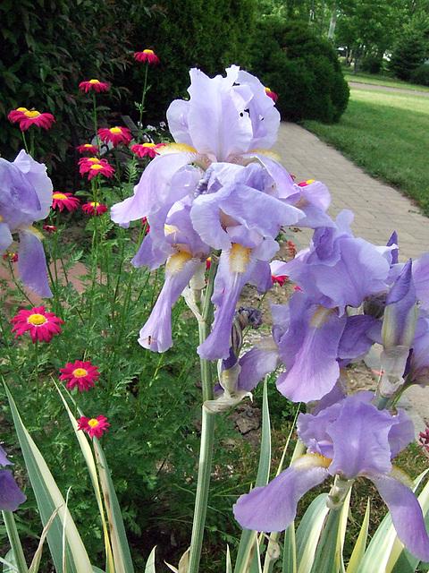 Iris & Painted Daisies