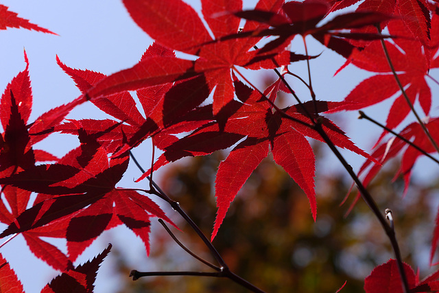 Maple leaves with shadows