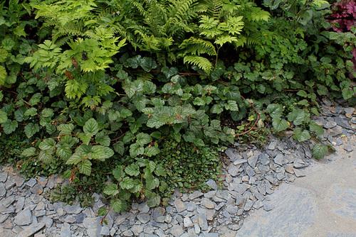 Les sept péchés capitaux-Rubus tricolor