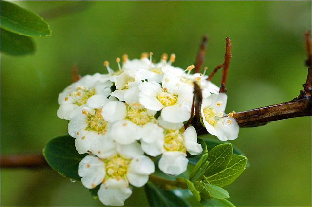 A Spirea Bouquet