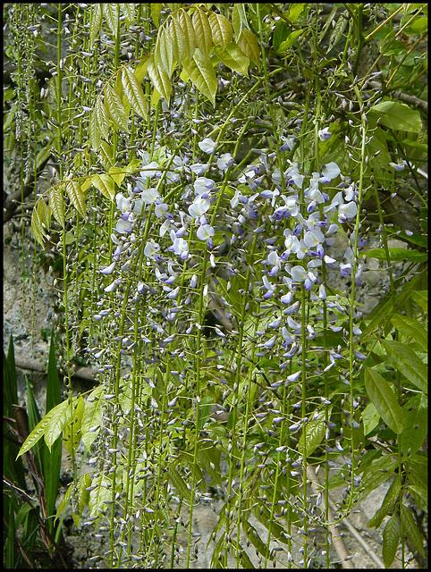 wisteria trails
