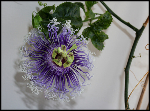 Passiflora Byron Beauty
