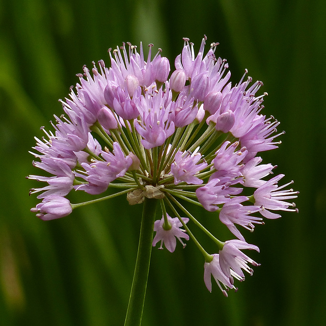The beauty of Alliums