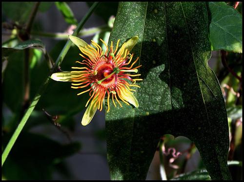 Passiflora 'Sunburst' (2)