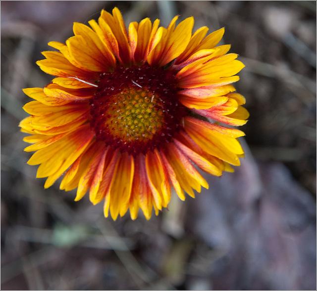 First Blanket Flower
