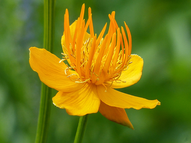 Globeflower / Trollius chinensis