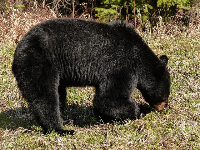 Black Bear busy feeding