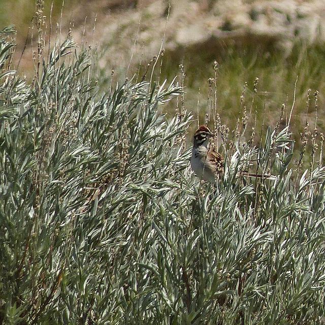 Distant Lark Sparrow