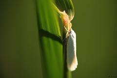 Elachista argentella Moth