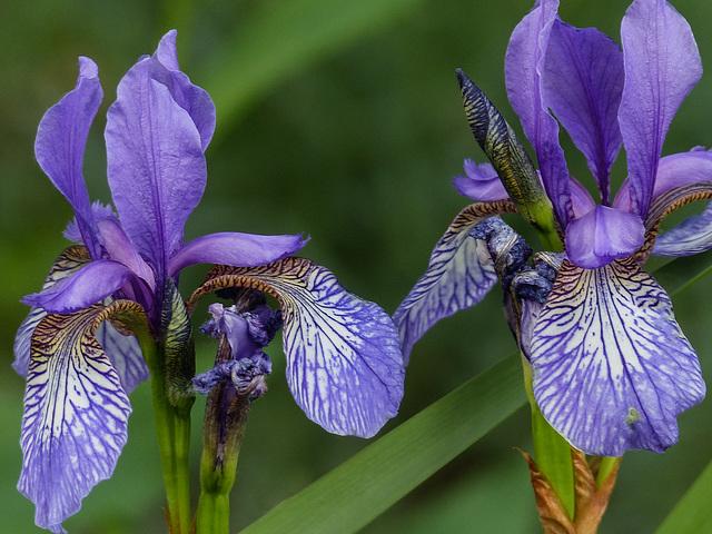 The beauty of Irises