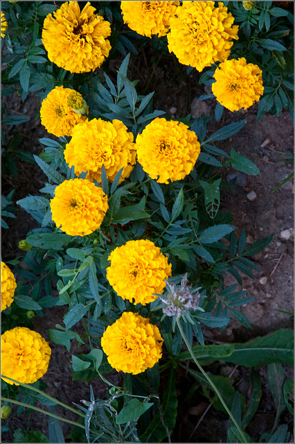 Nothing Wrong with Marigolds