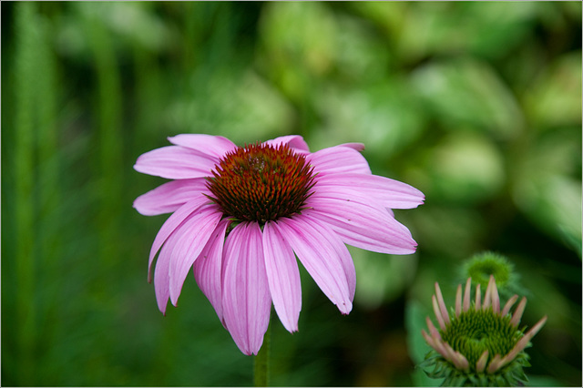 The First Coneflower
