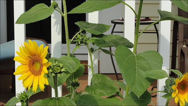 Sunflower!