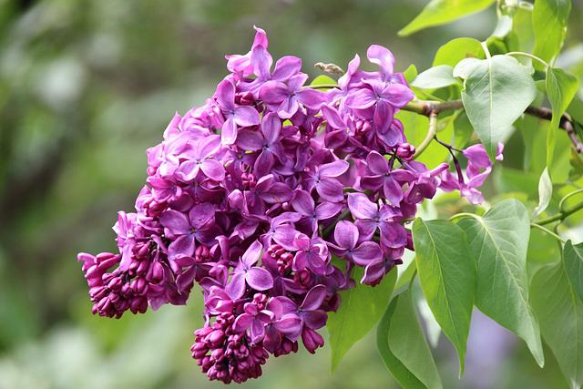 Puple lilac
