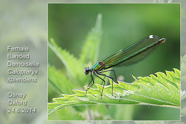 Banded Demoiselle - female - Oxford - 24.6.2014