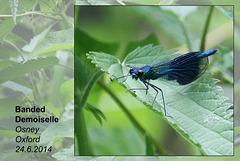 Banded Demoiselle - male - Oxford - 24.6.2014