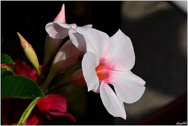 Diplodénia rose