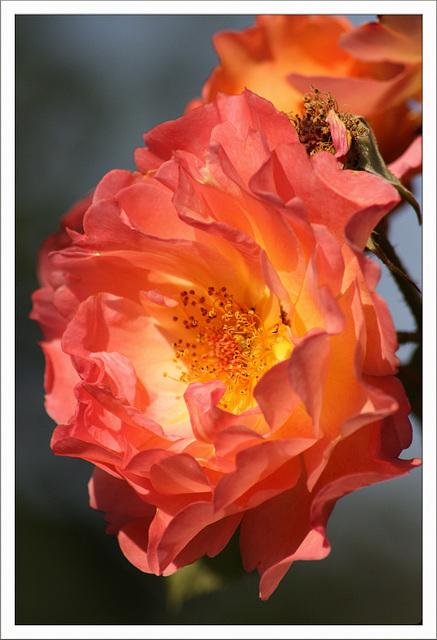Wenn Rosen strahlen...