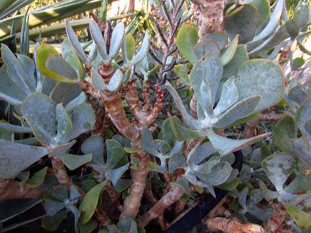 Succulent (2338)