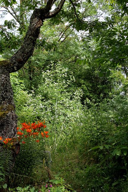Jungle- Grande Ciguë