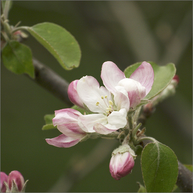 Worried about my Apple blossoms