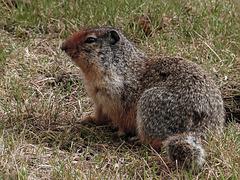 Columbian Ground Squirrel