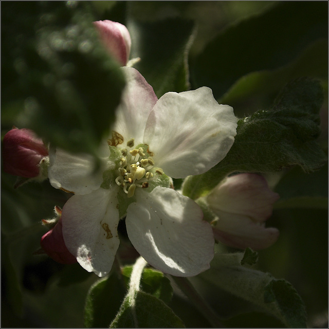 Another Day, Another Apple Blossom