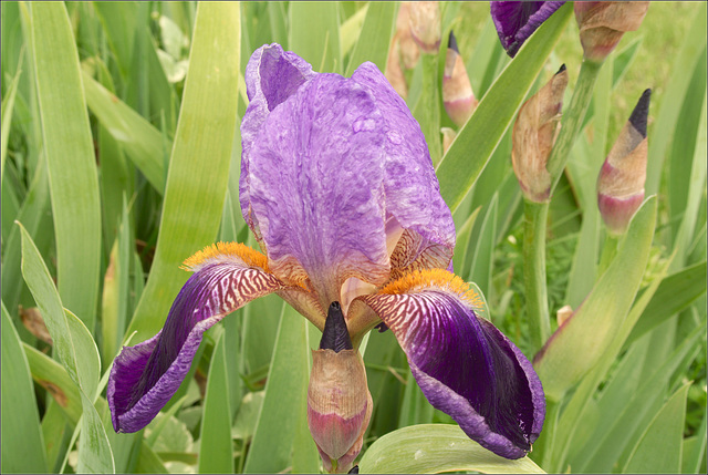 Iris!