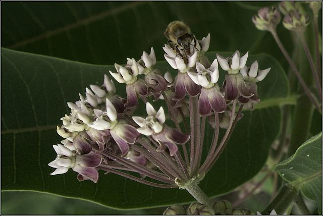 Bee at the Milkweed
