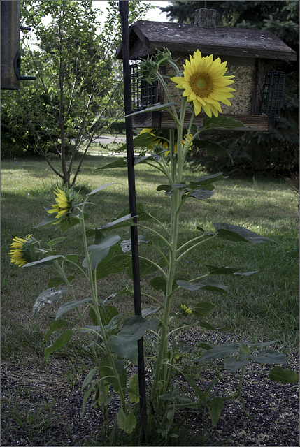 Sunflowers with Feeder