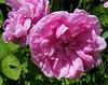 Roses bien écloses