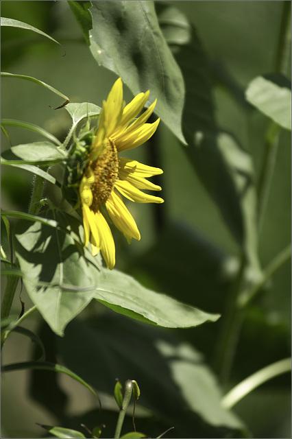 It's Sunflower Season