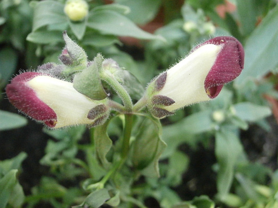A deep red and white snapdragon