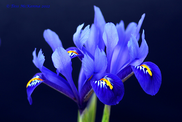Dutch Iris  Explore 082 copy