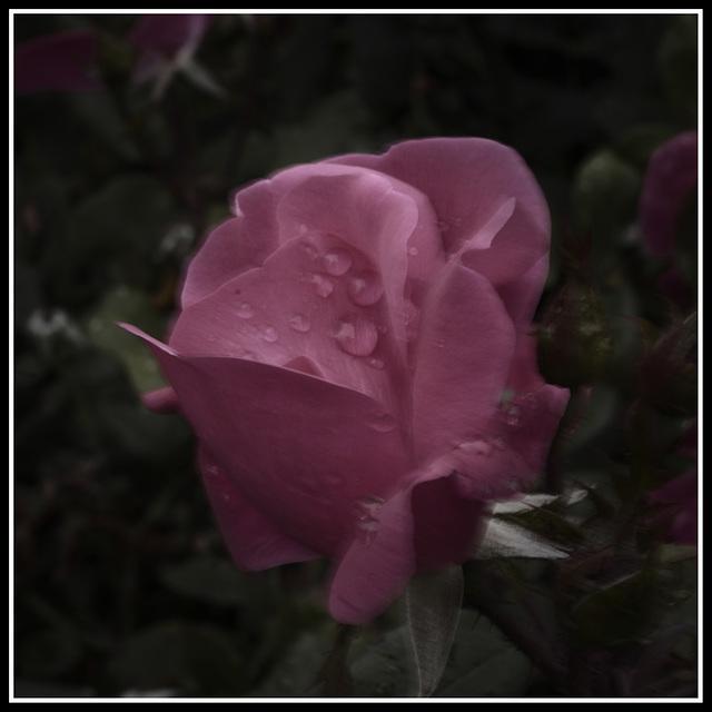Overprocessed Rose