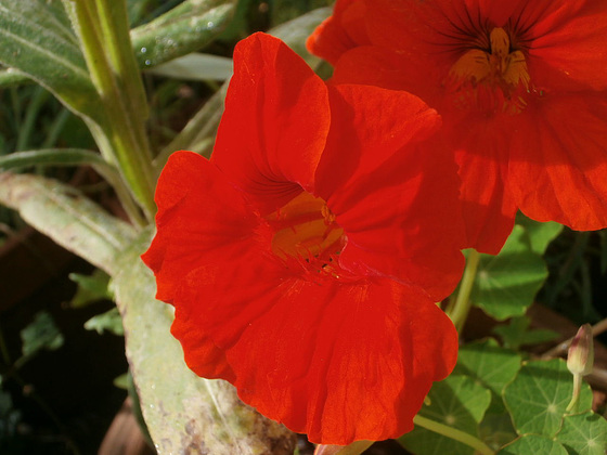 The bright orange of the nasturtium is wonderfully vivid