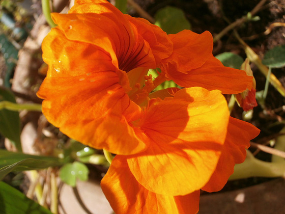 The deep yellow/orange nasturtium