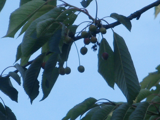 Some cherries have managed to survive
