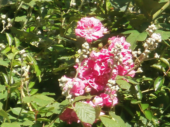 Some pink rambling roses are in the hedge