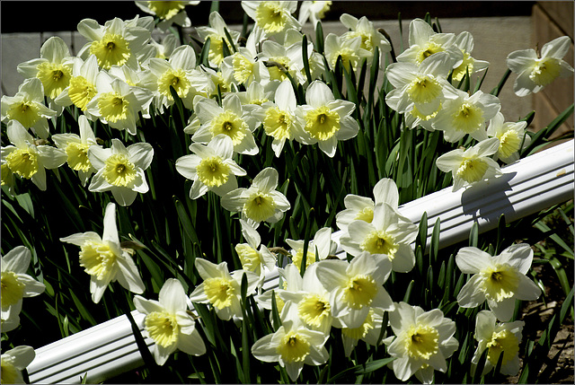 I Wait for the Daffodils all Winter