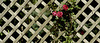 Roses on the Trellis