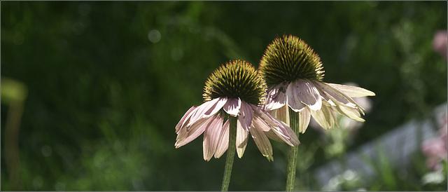 Coneflowers in the Sunshine