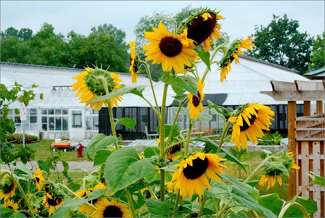 Matthaei Garden Sunflowers
