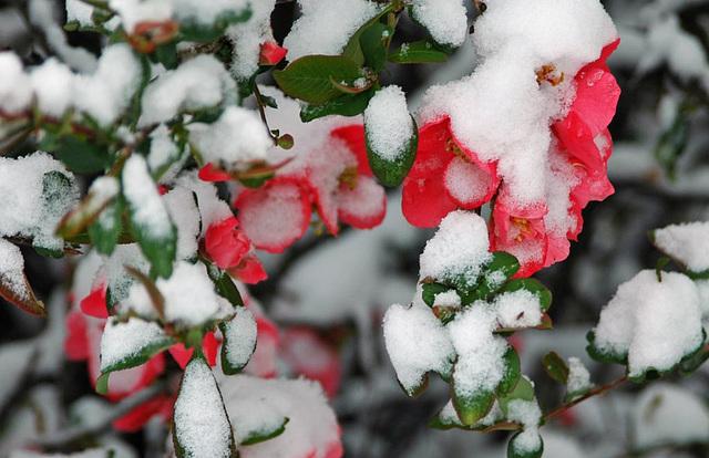 Snow on the <strike>Azalea</strike> Quince