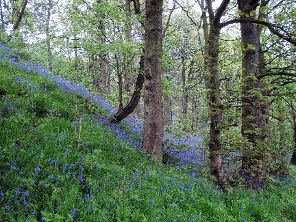Haddon - Blue Bells