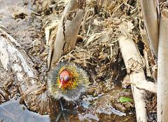 Eurasian Coot Chick on Nest .